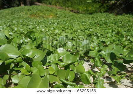 Green Creeping Herbs In Thailand In The Shade