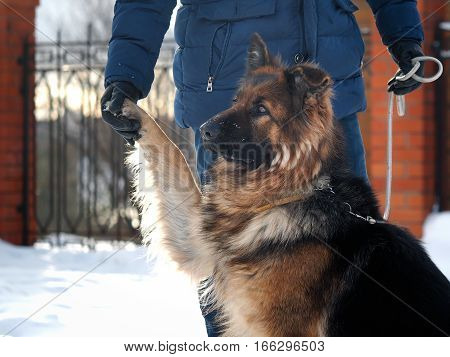 The owner holds his paw most loyal dog shepherd