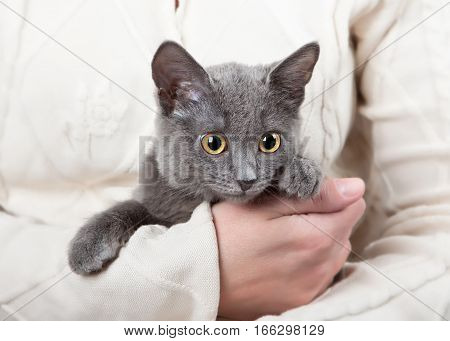 Cute gray kitten sitting in the hands of a woman