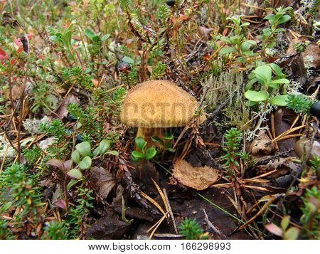 Mushroom suede bolete (mokhovik - lat. Xerocomus), who grew up on forest floor among last year's fallen leaves, pine needles, moss, lichen, lingonberry bushes and crowberry