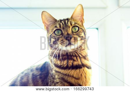 Bengal cat is sitting against the window.