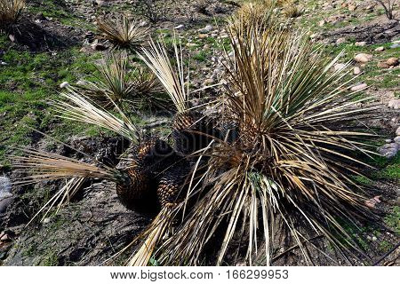 Charcoaled Yucca Plant burned from a wildfire taken in the Mojave Desert, CA