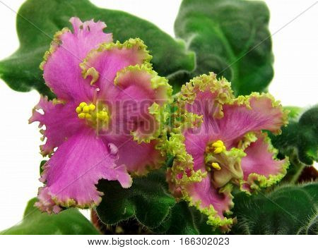 Beautiful blooming African violet collection