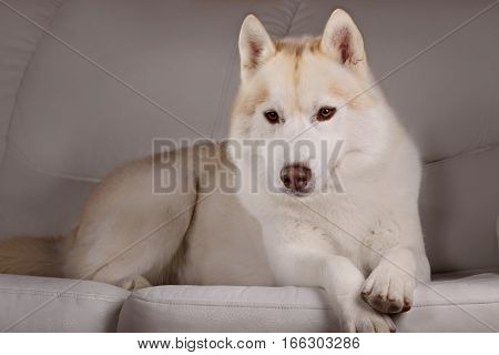 Portrait of a dog breed Siberian Husky in home