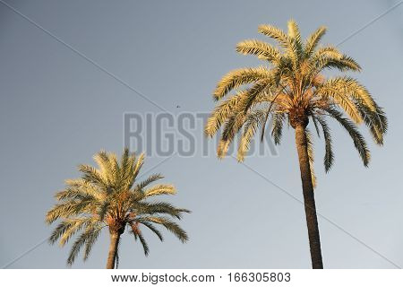 Sevilla (Andalucia Spain): two palm trees in the park near the Alcazar