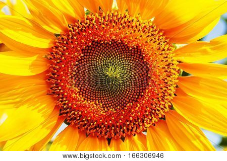 Pollen on a sunflower with the beauty of nature.