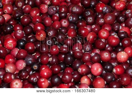 Lots of fresh red and burgundy cranberries