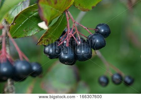 Black rowan on a background of green garden with shallow depth of field