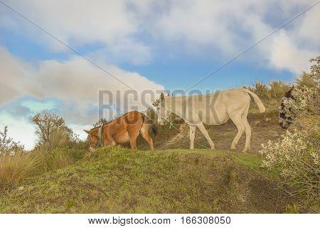Group of mules at highland road in Quilotoa lake Ecuador