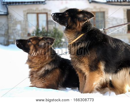 Large guard dog in the background of the cottage. Winter snow
