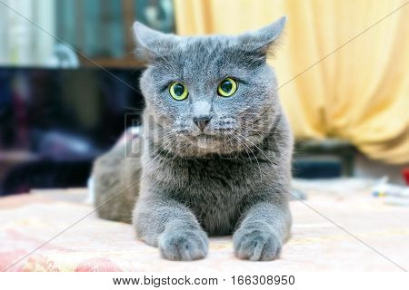 Adult grey cat puzzled at home room