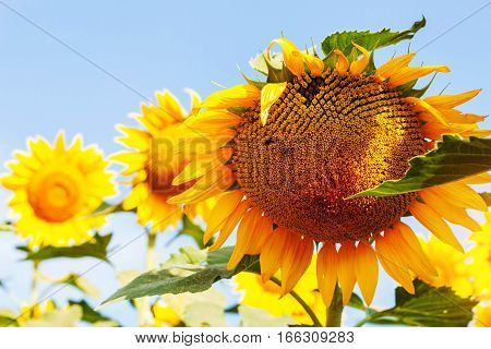 Sunflower of fields with the daytime at sky.