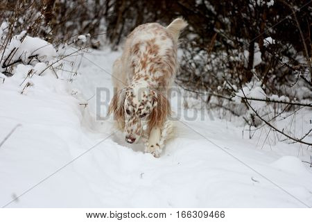 English setter walking close up, spotty dig dog hunting in winter forest on white background