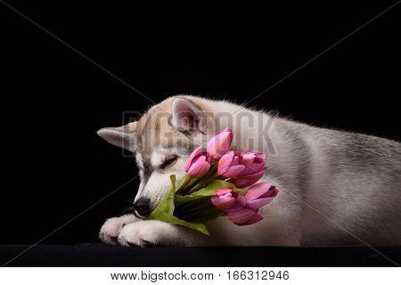 Siberian Husky puppy with flower on black
