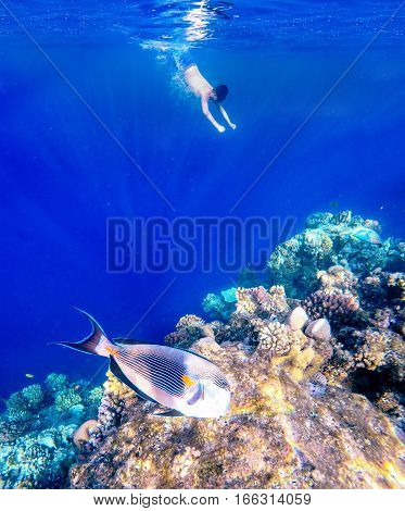 Coral and fish in the Red Sea. In front is Red Sea surgeonfish in background snorkeling boy and blue sea with other coral fish. Egypt.
