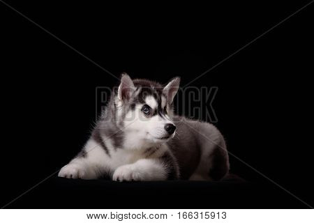 Cute little puppy of syberian husky on black background