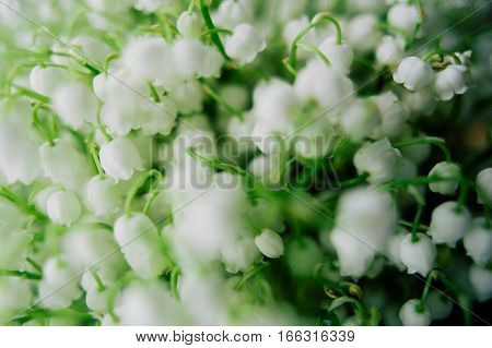 Blossoming Lily Of The Valley In The Forest. Lily-of-the-valley. Convallaria Majalis.spring Backgrou