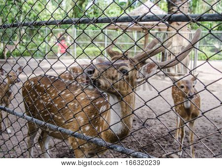 close up deer in the cage at the zoo