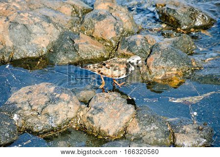 Kentish Plover Water Bird