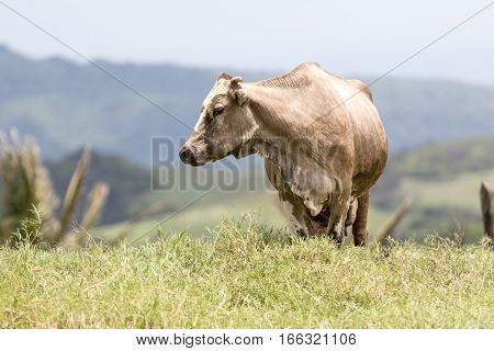 dairy cow outdoors on pasture in Costa Rica
