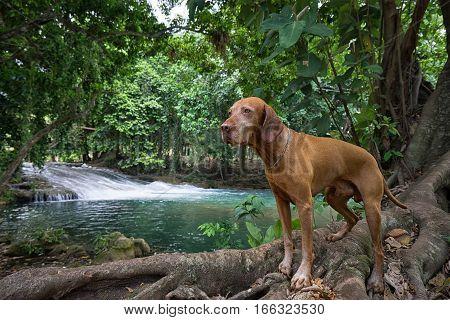 golden colour vizsla dog standing outdoors at Pulhapanzak waterfalls Honduras