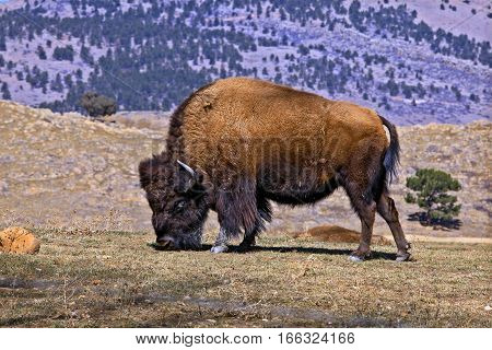 A wildlife capture of a North American Bison grazing. January 2017