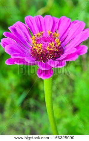 Zinnia Elegans Or Classic Zinnia Flower