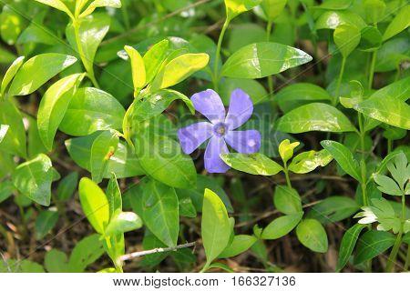 Blue periwinkle (vinca minor) on the meadow