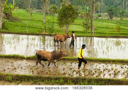 Batusangkar, Indonesia, August 29, 2015: Two cows getting rest from traditional bull race Pacu Jawi, walking in the rice paddies in West Sumatra, Indonesia on August, 2015