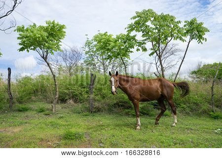 horse on highland pasture in Nicaragua Central America
