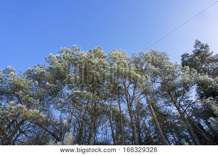 Treetops in Winter. Tree top in front of a clear sky