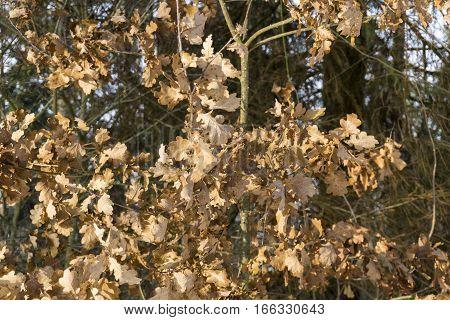 Closeup of Oak Leaves in Winter. Oak Tree