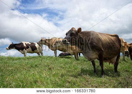 cow outdoors in Costa Rica highlands pasture