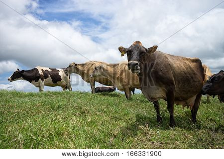 dairy cows on pasture in Costa Rica