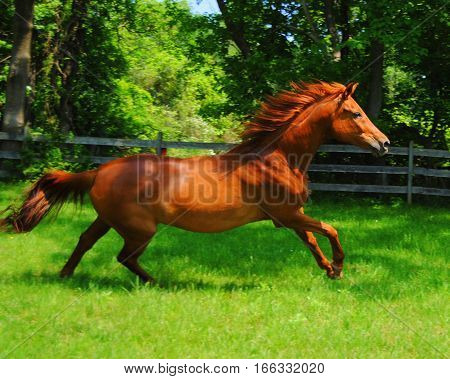 Chestnut mare horse, side view, galloping in green grass in dappled sunlight