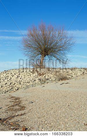 Tree at the shore of the Rhine (Rhein) at Gernsheim, Hesse, Germany