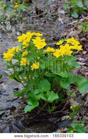 Marsh Marigold (Caltha palustris) flowers  in spring