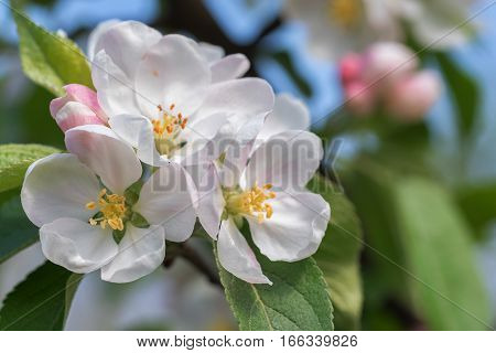 Flowers of beautiful blossoming apple tree in spring