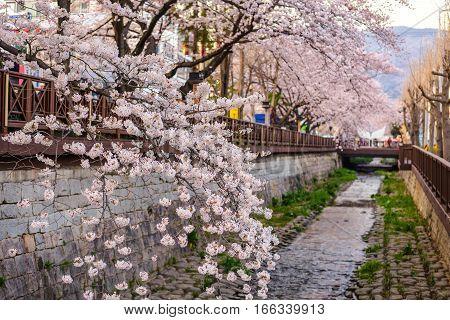 Spring Cherry blossom at Yeojwacheon Stream, Jinhae, South Korea