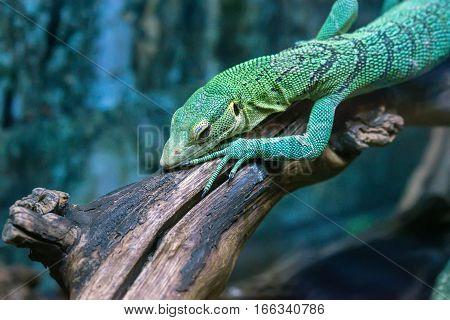 Emerald tree monitor or Varanus prasinus also known as green tree monitor