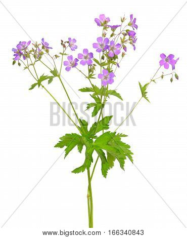 Geranium (Geranium pratense) flower isolated on a white background
