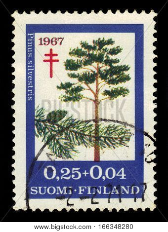 FINLAND - CIRCA 1967: a stamp printed in Finland shows scots pine (pinus sylvestris), series fight against TBC, circa 1967