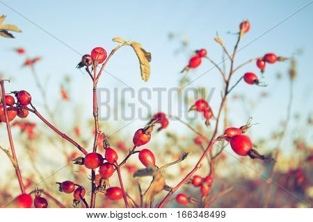 Rosehips, Red Rose Hip On A Branch.