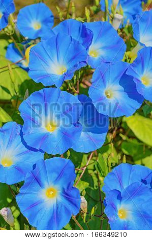Heavenly blue ipomoea (morning glory) flowers in the garden poster