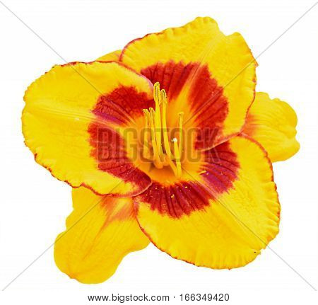 Yellow Daylily (hemerocallis) Closeup Isolated On White