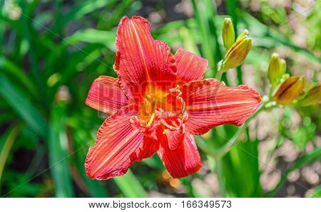 Red Daylily (hemerocallis) Closeup