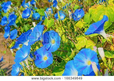 Heavenly blue ipomoea (morning glory) flowers in the garden