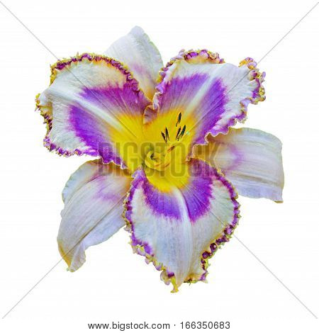 Multicolored Daylily Isolated On White