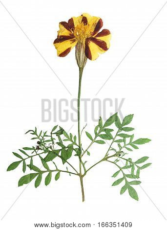 Pressed and dried flower marigold on stem with green leaves. Isolated on white background. For use in scrapbooking floristry (oshibana) or herbarium.