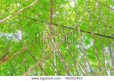 bamboo leaves background in the thailand,Green bamboo leaves